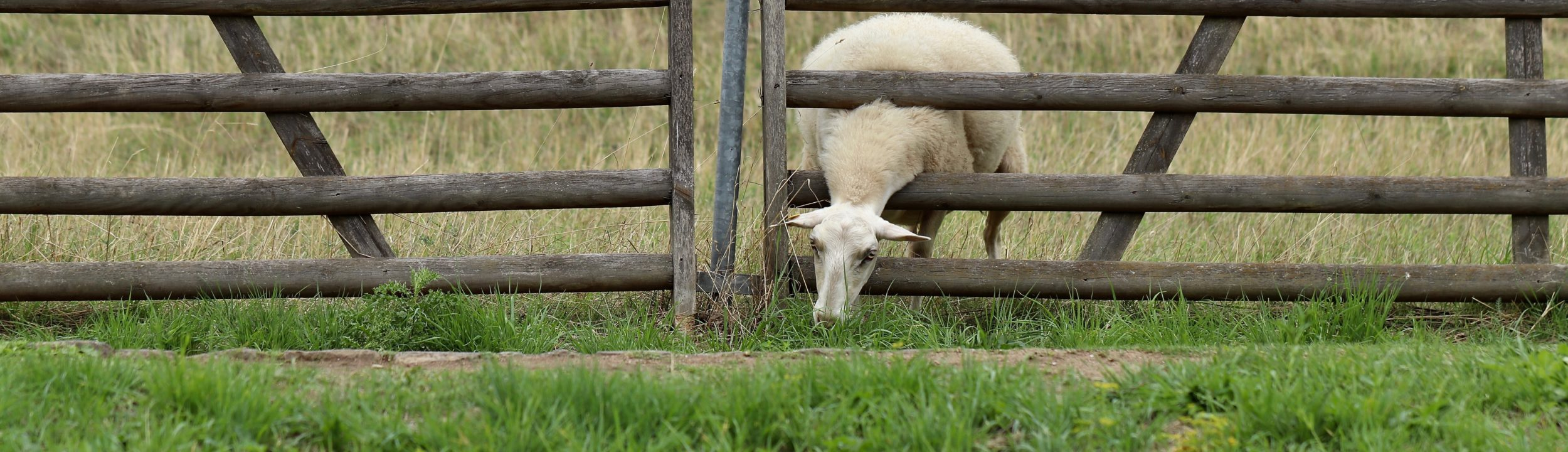 sheep-4461377